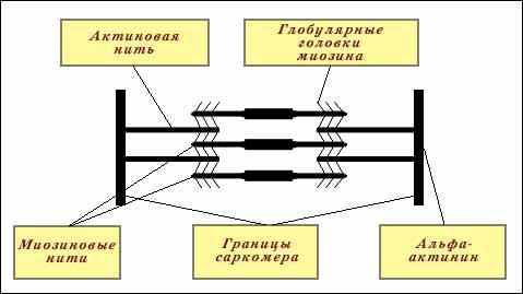 Схема саркомера.
